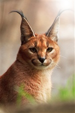 Caracal close-up iPhone fonds d'écran