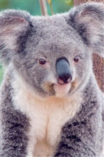 koala mignon iPhone fonds d'écran