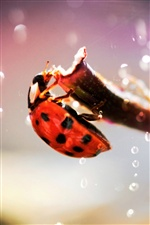 Coccinelle macro photographie iPhone fonds d'écran