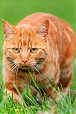 Chat orange sur l'herbe verte iPhone fonds d'écran