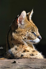 Serval, le chat sauvage iPhone fonds d'écran