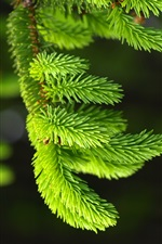 Spruce, pins, vert iPhone fonds d'écran
